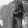 Elephant's Supper Time In Black And White by Gill Billington
