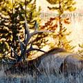Elk Als Yellowstone by Adam Cornelison