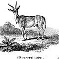 Elk Antelope by Granger