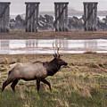 Elk At Trestle Bay by Robert Potts