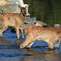 Elk Calf Crossing River 1 by Dave Masters
