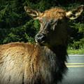 Elk Crossing by Mg Blackstock