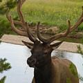 Elk by Diane Greco-Lesser