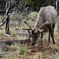 Elk  by Elizabeth Abbott