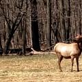 Elk Herd by Jane Butera Borgardt