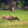 Elk In The Field by Mirko Chianucci