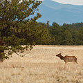 Elk In The Fossil Beds by Steve Krull