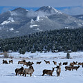 Elk In The Snow by Tranquil Light  Photography
