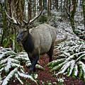 Elk In Winter by John Christopher