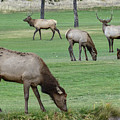 Elk On Golf Course Estes Park Colorado by Paul Vitko