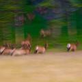 Elk On The Run by Sebastian Musial