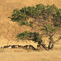 Elk Under Tree by Karen  W Meyer