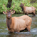 Elks Wading The Oconaluftee River by Andy Crawford