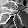 Elm Leaves In Frost  by Michelle  BarlondSmith