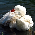 Embden Goose 4 by J M Farris Photography