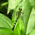 Emerald Dragonfly by David Dunham