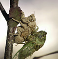 Emerging - Cicada 2 by D'Arcy Evans