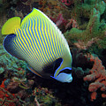 Emperor Angelfish, Indonesia by Pauline Walsh Jacobson