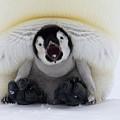 Emperor Penguin Aptenodytes Forsteri by Rob Reijnen