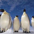 Emperor Penguins Antarctica by Tui De Roy