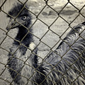 Emu At The Zoo by Luke Moore
