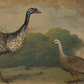 Emu, Cape Barren Goose And Magpie Goose by Henry Bernard Chalon
