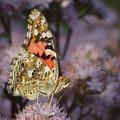 En Garde - Painted Lady - Butterfly by Nikolyn McDonald