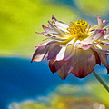 End Of Summer Lotus by Chris Lord