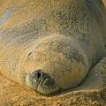 Endangered Monk Seal Takes A Siesta At Poipu Beach. by Larry Geddis