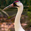 Endangered Species - Whooping Crane by Rich Leighton