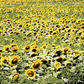 Endless Sunflowers by Jim DeLillo