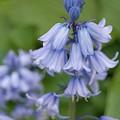 English Bluebell by Karen Sturgill