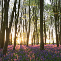 English Bluebell Wood by Chris Deeney