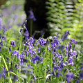 English Bluebell Wood by Julia Gavin