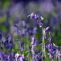 English Bluebells In Bloom by Julia Gavin