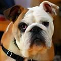 English Bulldog by Vincent Monozlay