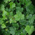 English Ivy by Ann Horn