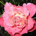 English Rose by Paolo Marini