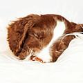 English Springer Spaniel Puppy Sleeping On Fur by Susan Schmitz