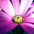 Enhanced Daisy by Miss McLean
