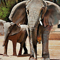 Elephant Walk by Bill Dunkley