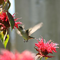 Enjoying The Bee Balm  by Cathy Beharriell