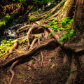 Entwined Roots by Jamie Tipton