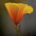 Ephemeral Poppy by Mike Reid