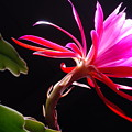 Epiphyllum by Dung Ma