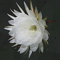 Epiphyte Blossom - Epiphyllum Oxypetalum by Mother Nature