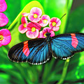 Erato Longwing Butterfly by Kay Brewer