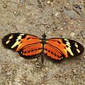 Eresia Species Butterfly by James Brunker