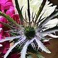 Eryngium Thistle by Mesa Teresita