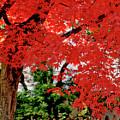 Essence Of Japanese Maple Tree by Carol F Austin